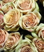 Golden Mustard 50cm Roses, SA