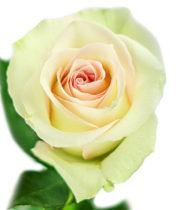 Rose, Ragazza-SA