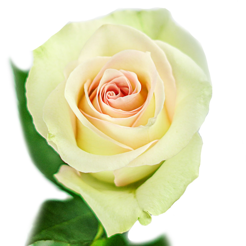 Ragazza Rose