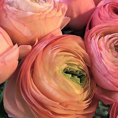 wholesale flowers | ranunculus tecate coral