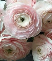 Ranunculus, Tecate-blush
