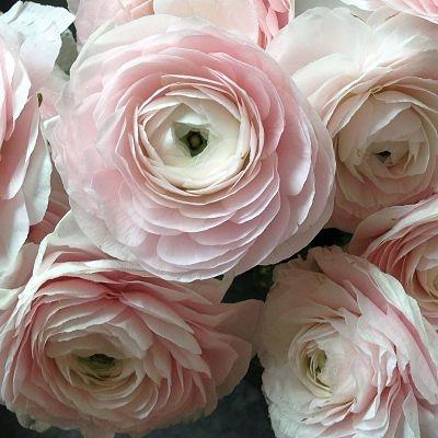 wholesale flowers | ranunculus tecate blush