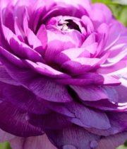 Ranunculus, Tecate-lavender