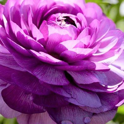 wholesale flowers | ranunculus tecate lavender