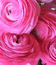 Ranunculus, Tecate-pink