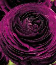 Ranunculus, Tecate-purple