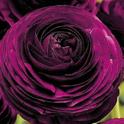 wholesale flowers | ranunculus tecate purple