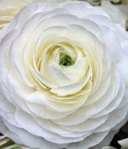 Ranunculus, Tecate-white