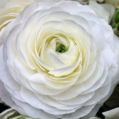 wholesale flowers   ranunculus tecate white