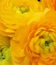 Ranunculus, Tecate-yellow