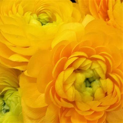 wholesale flowers | ranunculus tecate yellow