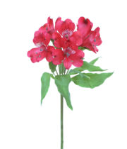Alstroemeria-red