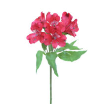 Alstroemeria-red