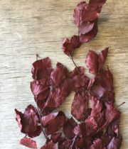 Copper Beech-red