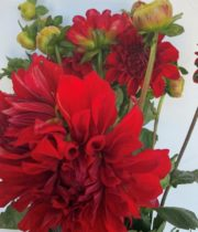 Dahlias, Field-red