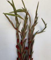 Gladiolus-red