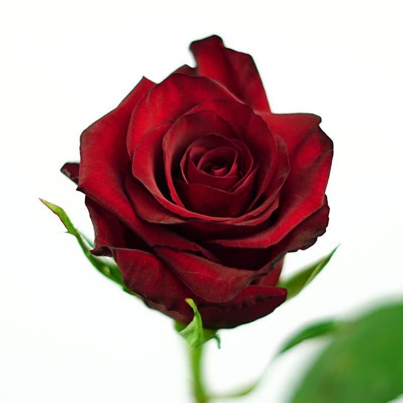 Red Paris Rose