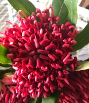 Protea, Waratah-red