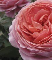 Romantic Antike Garden Rose, SA