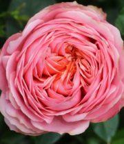 Rose Garden, Romantic Antike-CA