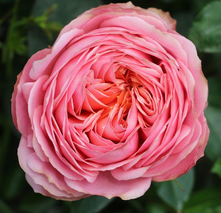 Romantic Antike Roses