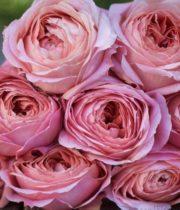 Rose Garden, Romantic Antike-SA