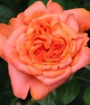Rose Garden, Romanza-CA