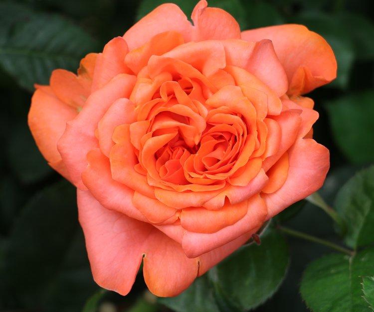 Romanza Rose