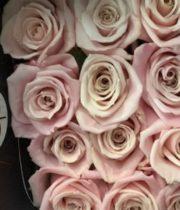 Rose, Sweet Escimo-SA