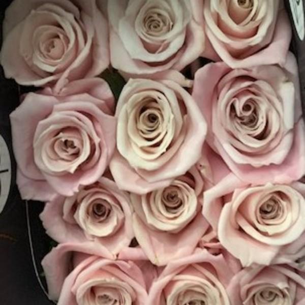 Rose Sweet Escimo