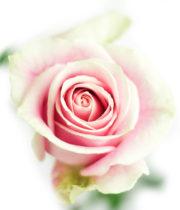 Rose, Rosita Vendela-SA