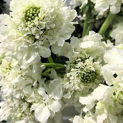 wholesale flowers | scabiosa white