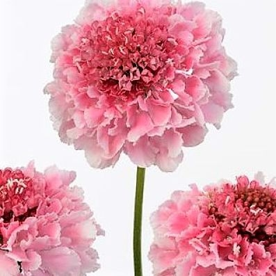 wholesale flowers   scabiosa pink