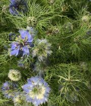 Nigella-blue
