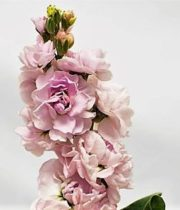 Stock-light Pink