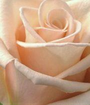 Rose, Sahara-SA