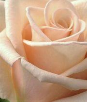 Beige Sahara Roses