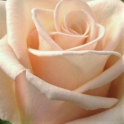 wholesale flowers | rose sahara
