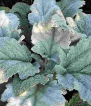 Silver Sage, Herb