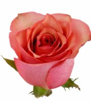 Rose, Samba Pa Ti-SA