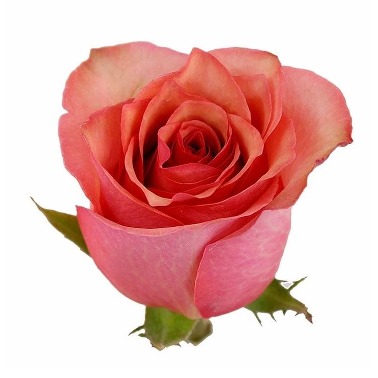 Samba Pa Ti Roses