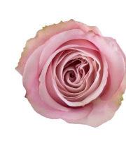 Rose, Secret Garden-SA