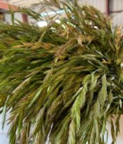 Shaker Grass
