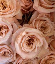 Rose, Shimmer-SA