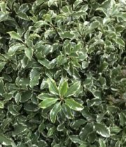 Pittosporum-Silver Queen