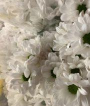 Mums, Spray-Micro Daisy-white