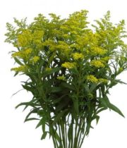 Aster, Solidago-yellow