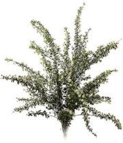 Spirea, Snowmound-white