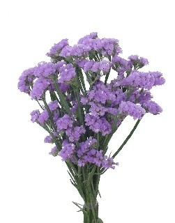 wholesale flowers | statice sinuata blue