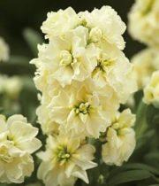 Stock-cream/yellow
